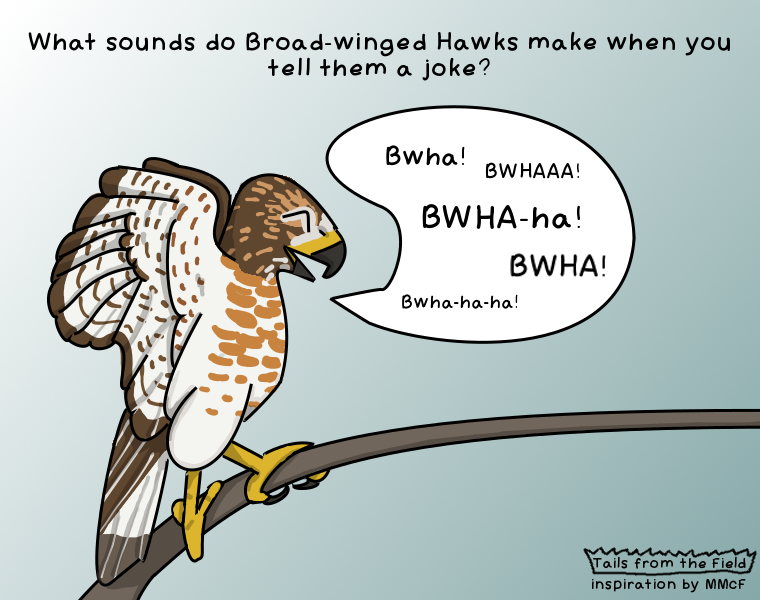 90% of the time Broad-wing Hawk laughs on tv are just dubbed over with Red-tailed Hawk sounds.